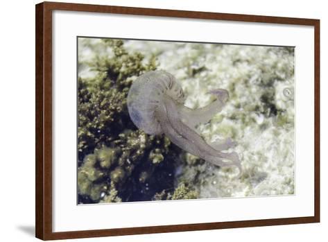Jellyfish, Pelagia Noctiluca, Transparent Underwater Creature in the Mediterranean.-sunlight19-Framed Art Print