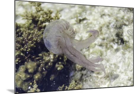Jellyfish, Pelagia Noctiluca, Transparent Underwater Creature in the Mediterranean.-sunlight19-Mounted Photographic Print