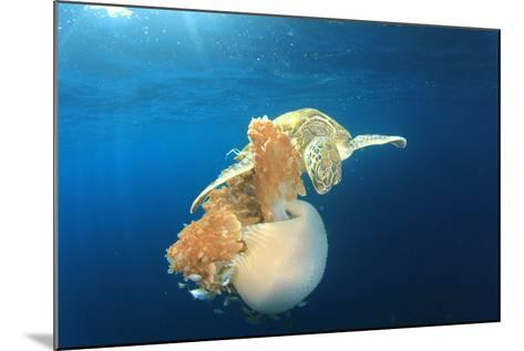 Green Sea Turtle Feeds on Large Pelagic Jellyfish-Rich Carey-Mounted Photographic Print