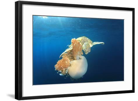 Green Sea Turtle Feeds on Large Pelagic Jellyfish-Rich Carey-Framed Art Print
