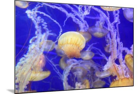 Pacific Sea Nettle Jellyfish, Chrysaora Fuscescens-steffstarr-Mounted Photographic Print