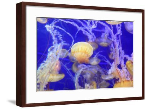 Pacific Sea Nettle Jellyfish, Chrysaora Fuscescens-steffstarr-Framed Art Print