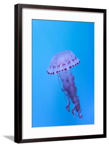 Purple Striped Jellyfish, Chrysaora Colorata-steffstarr-Framed Art Print