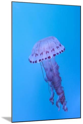 Purple Striped Jellyfish, Chrysaora Colorata-steffstarr-Mounted Photographic Print