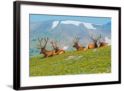 Gang of Elks in Colorado-duallogic-Framed Art Print