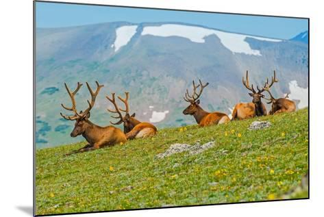 Gang of Elks in Colorado-duallogic-Mounted Photographic Print