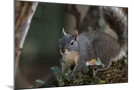 Silver - Gray Squirrel-wollertz-Mounted Photographic Print