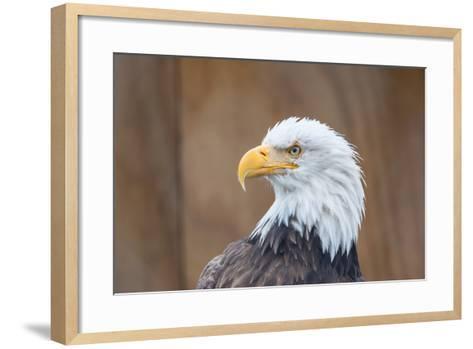 Portrait of a Bald Eagle-JHVEPhoto-Framed Art Print