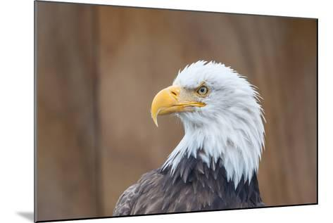 Portrait of a Bald Eagle-JHVEPhoto-Mounted Photographic Print