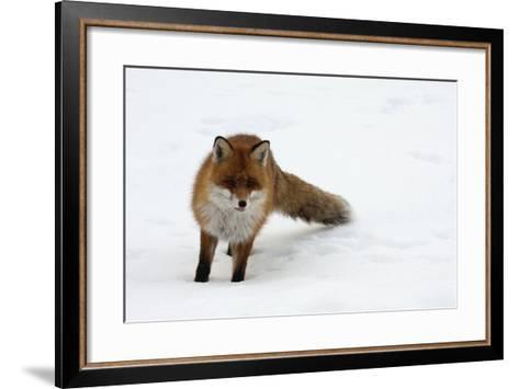 Fox in Snow-natburr-Framed Art Print