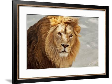 Eye to Eye Contact with a Young Asian Lion.-olga_gl-Framed Art Print