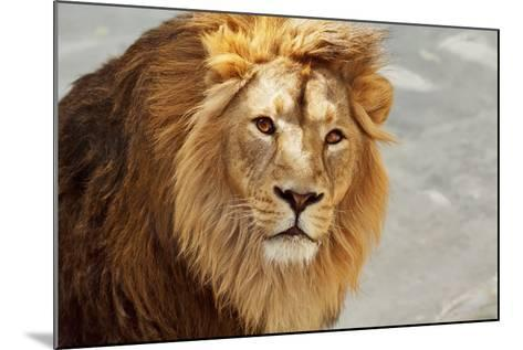 Eye to Eye Contact with a Young Asian Lion.-olga_gl-Mounted Photographic Print