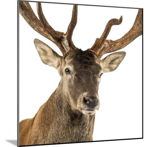 Close-Up of a Red Deer Stag in Front of a White Background-Life on White-Mounted Photographic Print