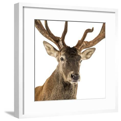 Close-Up of a Red Deer Stag in Front of a White Background-Life on White-Framed Art Print