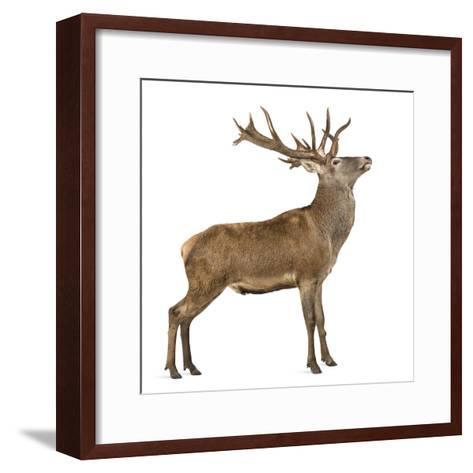 Red Deer Stag in Front of a White Background-Life on White-Framed Art Print