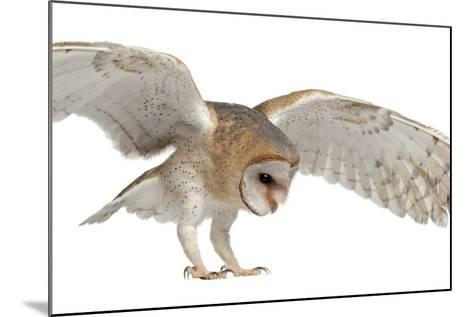 Barn Owl, Tyto Alba, 4 Months Old, Flying against White Background-Life on White-Mounted Photographic Print