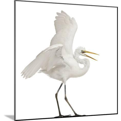 Great Egret or Great White Egret or Common Egret, Ardea Alba, Standing in Front of White Background-Life on White-Mounted Photographic Print