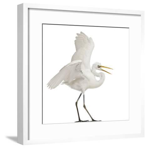 Great Egret or Great White Egret or Common Egret, Ardea Alba, Standing in Front of White Background-Life on White-Framed Art Print