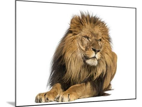 Lion Lying Down, Looking Away, Panthera Leo, 10 Years Old, Isolated on White-Life on White-Mounted Photographic Print