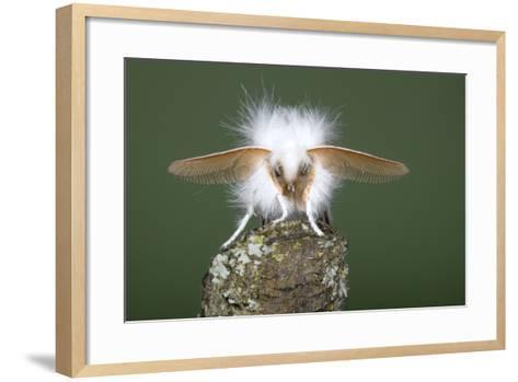 Brown-Tail Moth Male Showing Antennae--Framed Art Print