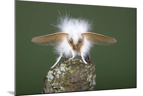 Brown-Tail Moth Male Showing Antennae--Mounted Photographic Print