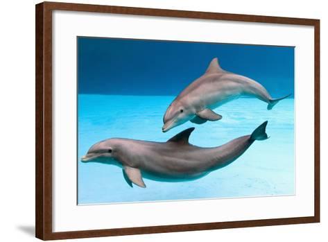 Bottlenose Dolphins Dancing Underwater-Augusto Leandro Stanzani-Framed Art Print