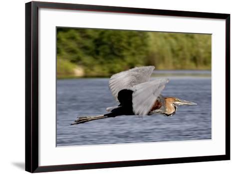 Goliath Heron in Flight-Augusto Leandro Stanzani-Framed Art Print