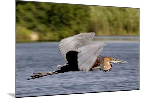 Goliath Heron in Flight-Augusto Leandro Stanzani-Mounted Photographic Print