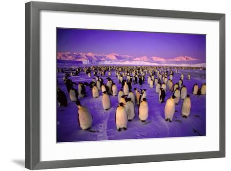Emperor Penguin Colony in Twilight--Framed Art Print