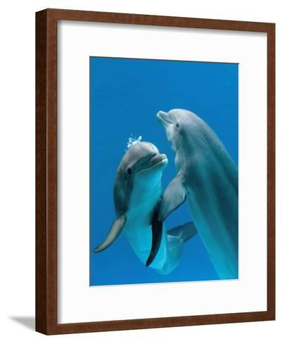 Bottlenose Dolphins, Pair Dancing Underwater-Augusto Leandro Stanzani-Framed Art Print