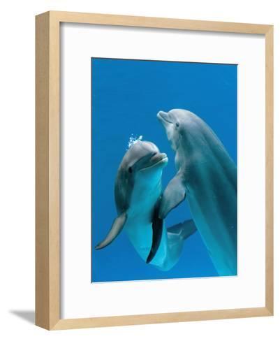 Bottlenose Dolphins, Pair Dancing Underwater-Augusto Leandro Stanzani-Framed Art Print