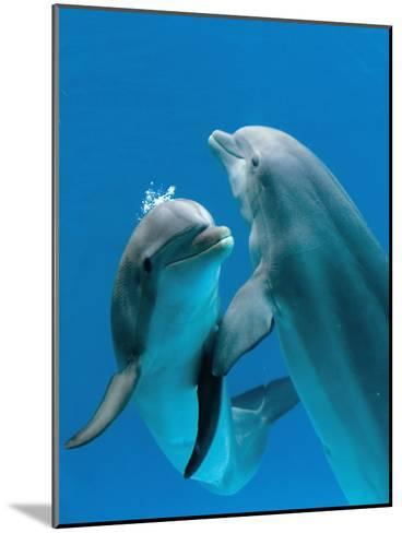Bottlenose Dolphins, Pair Dancing Underwater-Augusto Leandro Stanzani-Mounted Photographic Print