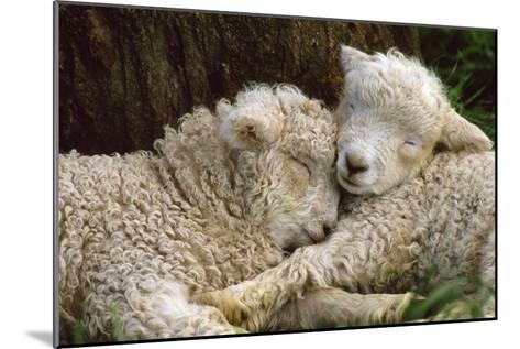 Tukidale Sheep Lambs, Raised for Carpet Wool--Mounted Photographic Print
