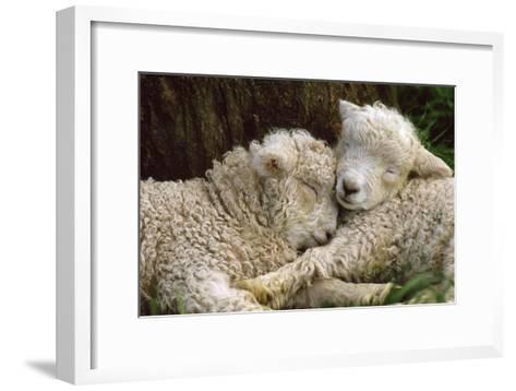 Tukidale Sheep Lambs, Raised for Carpet Wool--Framed Art Print