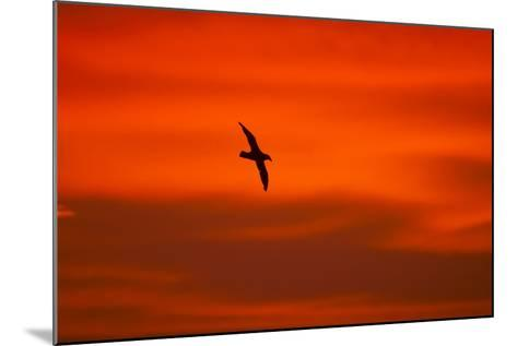 Southern Giant Petrel in Flight at Sunset--Mounted Photographic Print