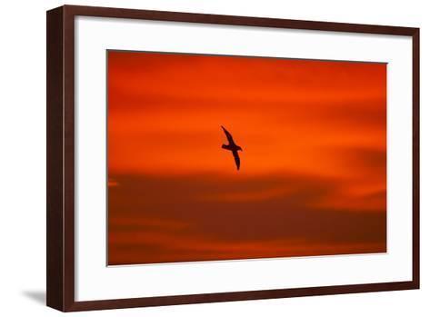 Southern Giant Petrel in Flight at Sunset--Framed Art Print