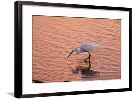 Snowy Egret Feeding in Lagoon at Sunset--Framed Art Print
