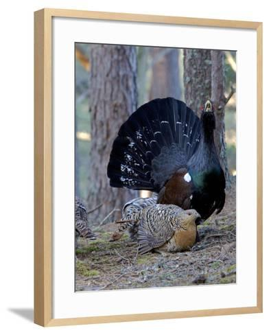 Capercaillie Male and Hen Displaying on Lek In--Framed Art Print