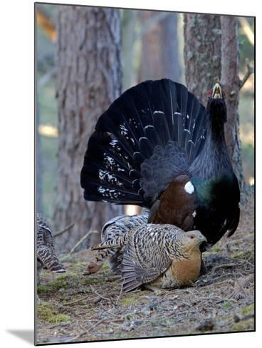 Capercaillie Male and Hen Displaying on Lek In--Mounted Photographic Print