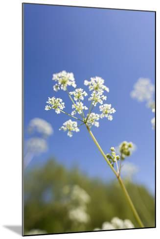 Cow Parsley Flowers--Mounted Photographic Print