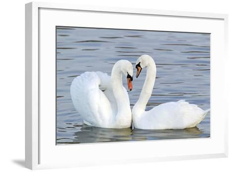 Mute Swan Courtship Display--Framed Art Print