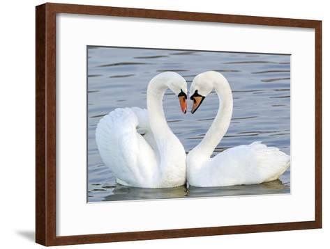 Mute Swan Courtship Display--Framed Art Print