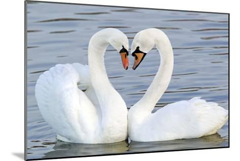 Mute Swan Courtship Display--Mounted Photographic Print
