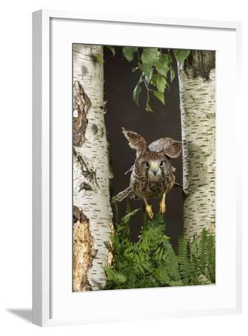 Common Kestrel Flying Between Silver Birch Trees--Framed Art Print