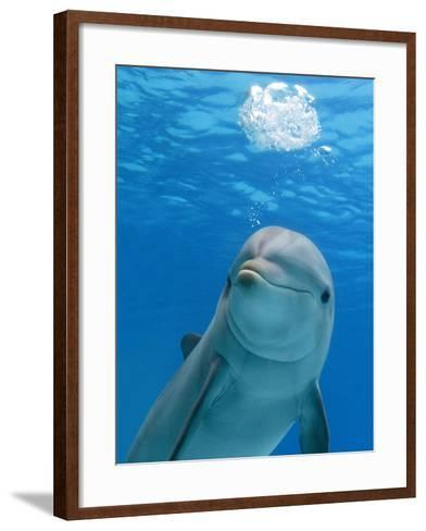 Bottlenose Dolphin Blowing Air Bubbles Underwater-Augusto Leandro Stanzani-Framed Art Print