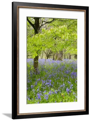 Bluebells Amongst Beech Trees in Spring--Framed Art Print