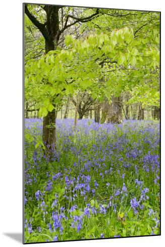 Bluebells Amongst Beech Trees in Spring--Mounted Photographic Print