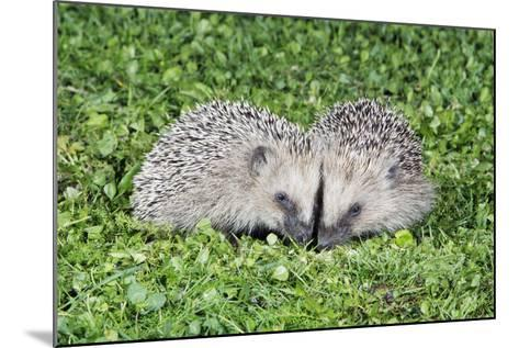 Hedgehog 2 Young Animals on Garden Lawn--Mounted Photographic Print