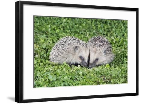 Hedgehog 2 Young Animals on Garden Lawn--Framed Art Print