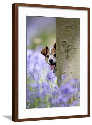 Jack Russell Looking around Tree in Bluebell Wood--Framed Art Print